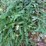 Astragalus monspessulanus_resultat