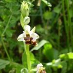 ophrys apifera_resultat