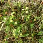 trifolium campestris_resultat