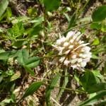 trifolium repens_resultat