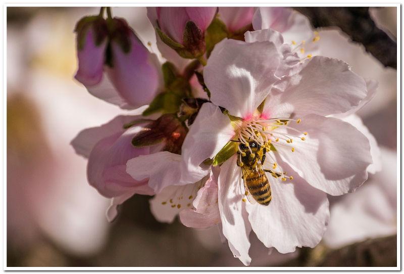 abeille butine amandier
