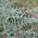 Asparagus_acutifolius