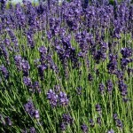 Lavandula-angustifolia