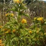 Scolymus hispanicus_resultat