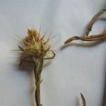 centaurea melitensis_resultat