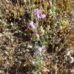 centaurea paniculata_resultat