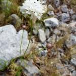 cephalaria leucantha_resultat