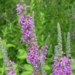 lythrum salicaria_resultat