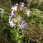 saponaria officinalis_resultat