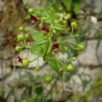 scrophularia peregrina_resultat