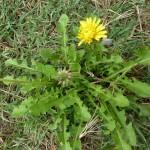 taraxacum fasciatum_resultat