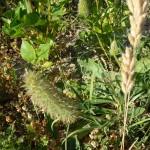 trifolium angustifolium_resultat